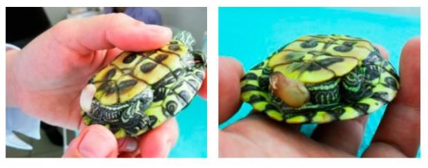 Как вылечить черепаху от thumbnail