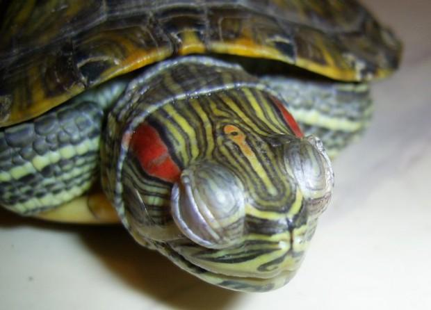 Как и чем вылечить глаза красноухой черепашке