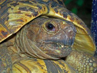 Фиксация головы черепахи