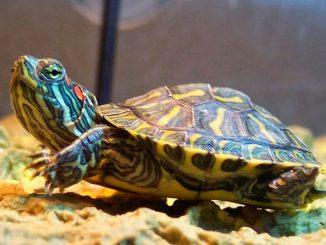 Для чего красноухим черепахам нужен кальций?