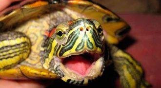 Почему красноухая черепаха открывает рот