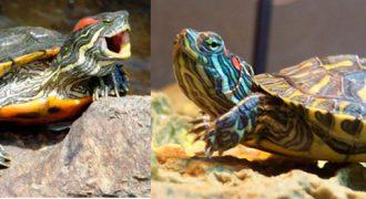 Красноухая черепаха не ест